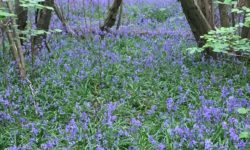 Earlswood-Bluebells