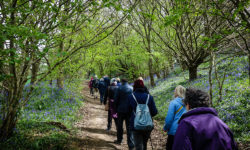Line-of-walkers-Bluebells-1