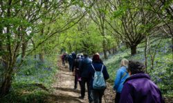 Line-of-walkers-Bluebells2